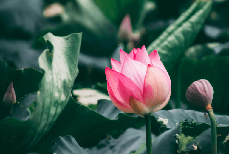 Lotus 2 unsplash.com photos BgzTKercK A 40 768x516