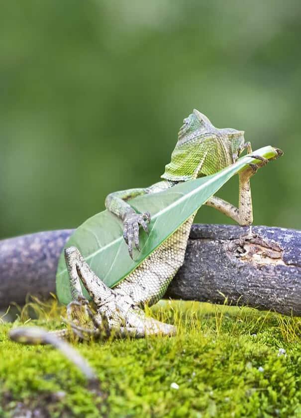 TCC Lizard