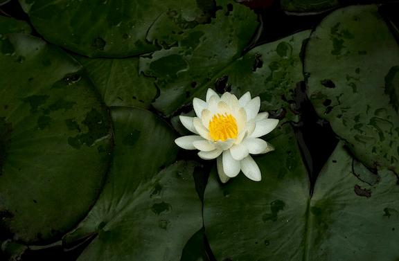 Lotus 1 5