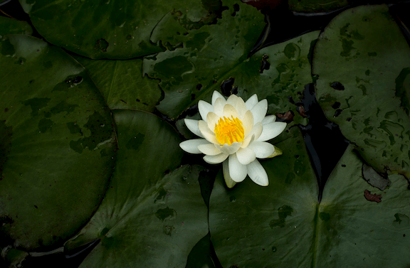 Lotus 1 8